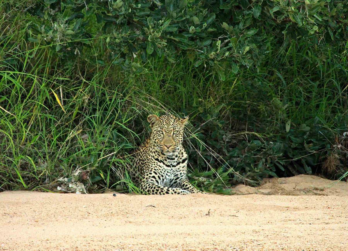 Leopard- Gallery Safari - White River Manor