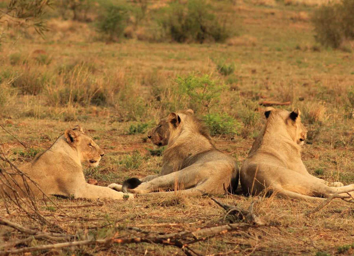 Lions resting - White River Manor