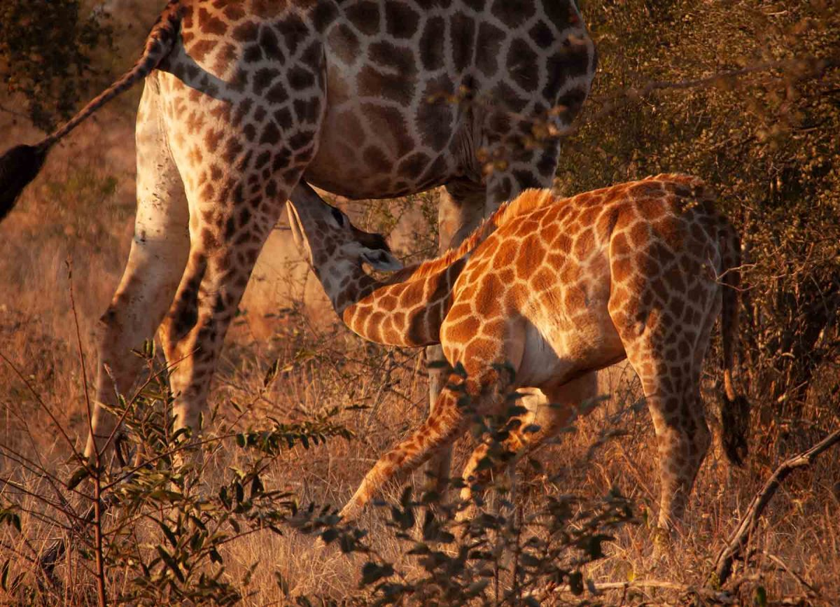 Baby Giraffe - White River Manor