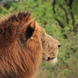 Lion Safari witte rivier landhuis