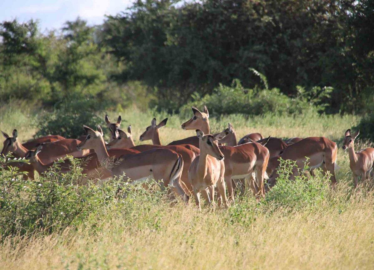 Gazelles - White River Manor